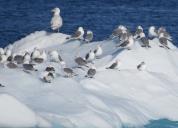 Disko Bay birds (2)