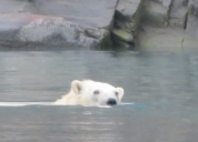 Swimming polar bear Dundas Harbour