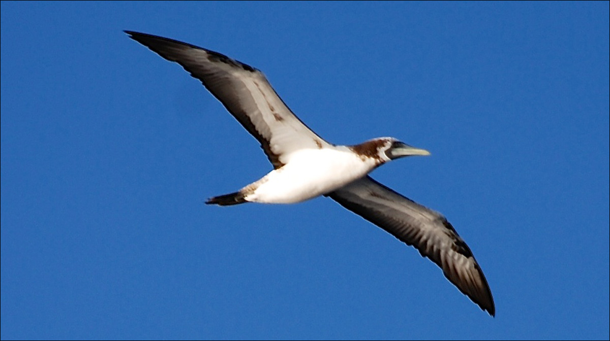 An immature Masked Booby, photographed by Asia Beck and Aranya Beck (ages 11 and 10) on sv MOXIE, documented that species hundreds of miles east of the Caribbean on the open ocean.