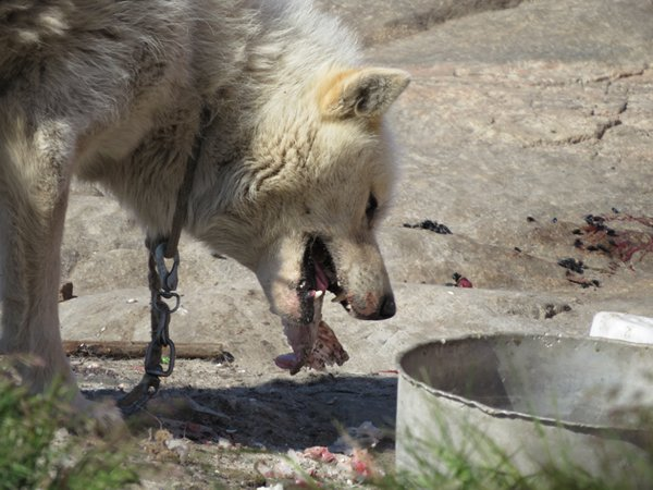sledge dog eating Arctic char a local fish
