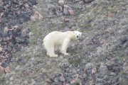 m_Polar-bear-looking