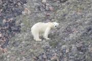 m_Polar-bear-looking