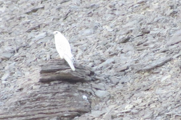Gyrfalcon on Beechey Island