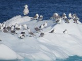 Birds on iceberg
