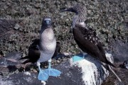 Blue Footed Booby copyright Jimmy Cornell WCD