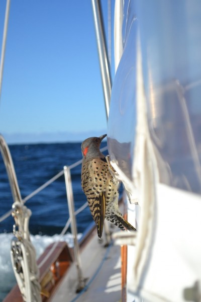 Woodpeckers at sea