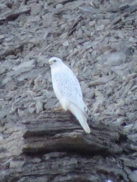 A rare white Gyrfalcon