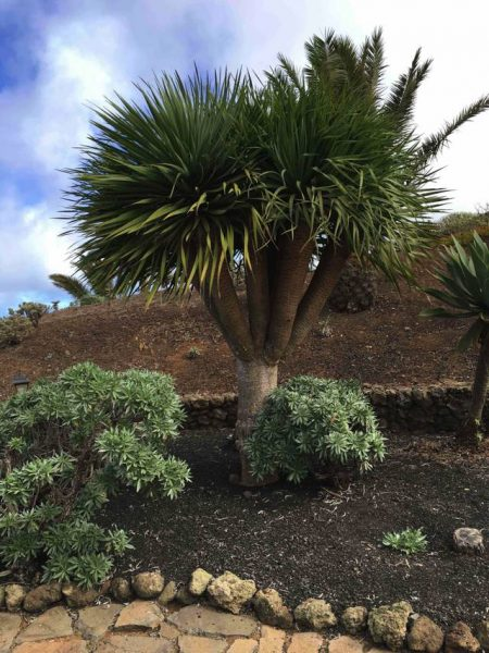 The distinctive Dragon tree, endemic to the Canaries